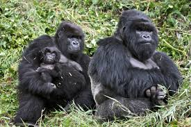 Gorilla by Gorillas Fight Back Against Loathsome Poachers Huffpost
