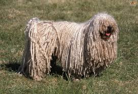 affenpinscher shaved hungarian puli dog breed information buying advice photos and