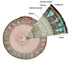 xylem cell structure dominantni info