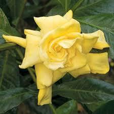 gardenia flower yellow gardenia gardenia jasminoides aurea