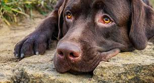 Is It Legal To Bury Your Dog In The Backyard - your dogs sense of smell just how good is it the labrador site