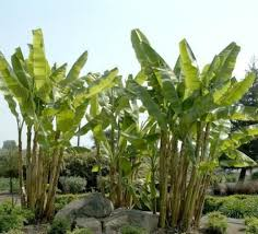 best 25 banana tree for sale ideas on hydroponic
