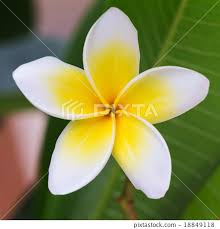 plumeria flower white frangipani tropical flower plumeria flower stock photo