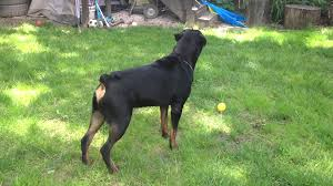 rottweiler home protection test youtube