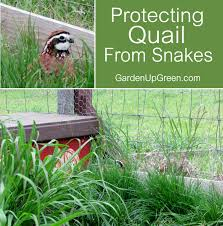 protecting quail from snakes u2013 garden up green