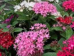 pentas flower pentas are flowering workhorses of the garden coast daily