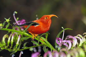 native plants to hawaii climate change blamed for collapse of hawaiian forest birds u2013 the