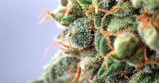 marijuana trichomes what you need to know about cannabis trichomes jane street
