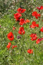 native plants in france papaver rhoeas l plants of the world online kew science