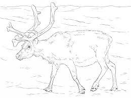 svalbard reindeer norway coloring page countries u0026 culture