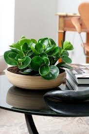 Low Light Indoor Trees Best 25 Rubber Tree Ideas On Pinterest Rubber Plant Indoor