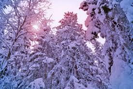 winter tree spruce pine forest snow christmas tree sun light