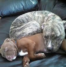 Seeking Pitbull Cast 7940 Best Pitbull Images On Pets Adorable