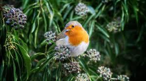 4 hours relaxing robin bird calls chirping sounds reduce stress
