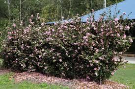 buy camellia sasanqua u0027jennifer susan u0027 sydney melbourne