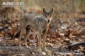 grey wolf photo canis lupus g58163 arkive