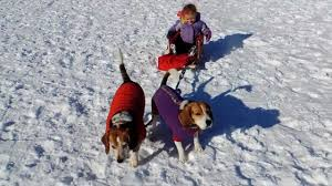 beagles as sled dogs youtube