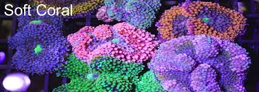 soft coral canada order now