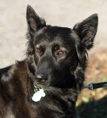 lifespan of belgian shepherd breed feature the belgian shepherd goldenvale veterinary hospital