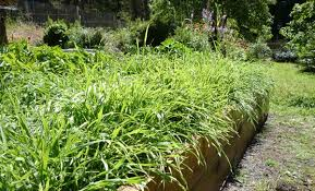 eartheasy blogplant a fall cover crop to improve your garden soil
