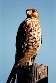 listbirds 59 best animals images on pinterest animals hawks and birds of prey