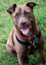 american pitbull terrier mix 17 insane pit bull mixes you need to see right now