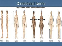 Directional Terms Human Anatomy Body Organization And Anatomical Terms Hazel Anne L Tabo Ms