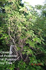 14 U0027 Tall Free Standing Poison Ivy Shrub Ask An Expert