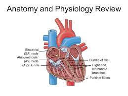 Human Anatomy And Physiology Review Cardiovascular System Ppt Download