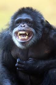 Houston Zoo Lights Prices by 6 Chimps From Private Home Enter Much Larger World At Houston Zoo
