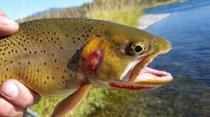 cutthroat trout facts and subspecies information