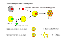 Which Is A Reproductive Cell Somatic Cell Nuclear Transfer Wikipedia