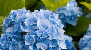 blue hydrangea flower hd wallpaper wallpaperfx