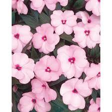 impatien annuals garden plants u0026 flowers the home depot