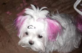 korean haircut on head long on maltese dogs forum