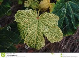 Okra Plant Diseases - okra leaf disease stock photo image 96825696