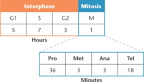 time for mitosis lab 16 answer key 28 images cell cycle and