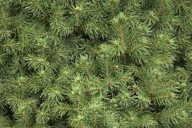how to identify the most common north american conifers