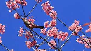 bird on cherry blossom and white headed bulbul