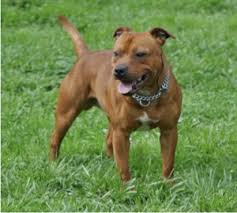 american pit bull terrier life expectancy staffordshire bull terrier wikipedia