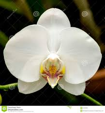 White Orchid Flower Bright White Orchid Flower In The Garden Stock Photo Image 52849831