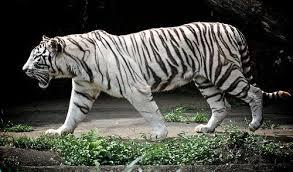 white tiger wallpapers 14362 hdwpro