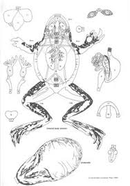 02 cut u0026 paste frog anatomy a paper dissection biology