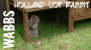 Homemade Rabbit Cage Lop Rabbit Likes His Homemade Outside Hutch Youtube