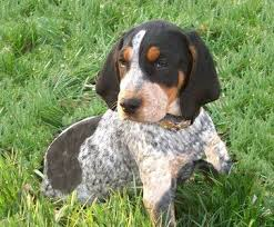 bluetick coonhound puppies for sale in louisiana 20 best bluetick coonhound images on pinterest bluetick