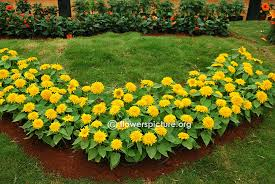 teddy sunflowers bangalore lalbagh flower show 2015 independence day photos gallery 1