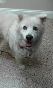 pictures of a american eskimo dog eskie rescuers united