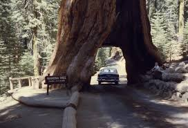 Chandelier Drive Through Tree The Drive Through Tree A Relic With Roots In American Tourism