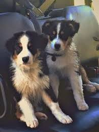 australian shepherd akc we breed quality akc australian shepherd puppies we go above and