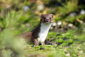 7 fierce facts about weasels mental floss